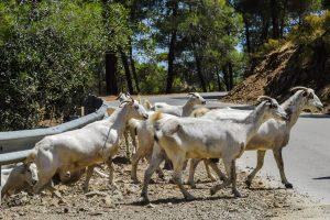 Cabras montesas cruzando la carretera